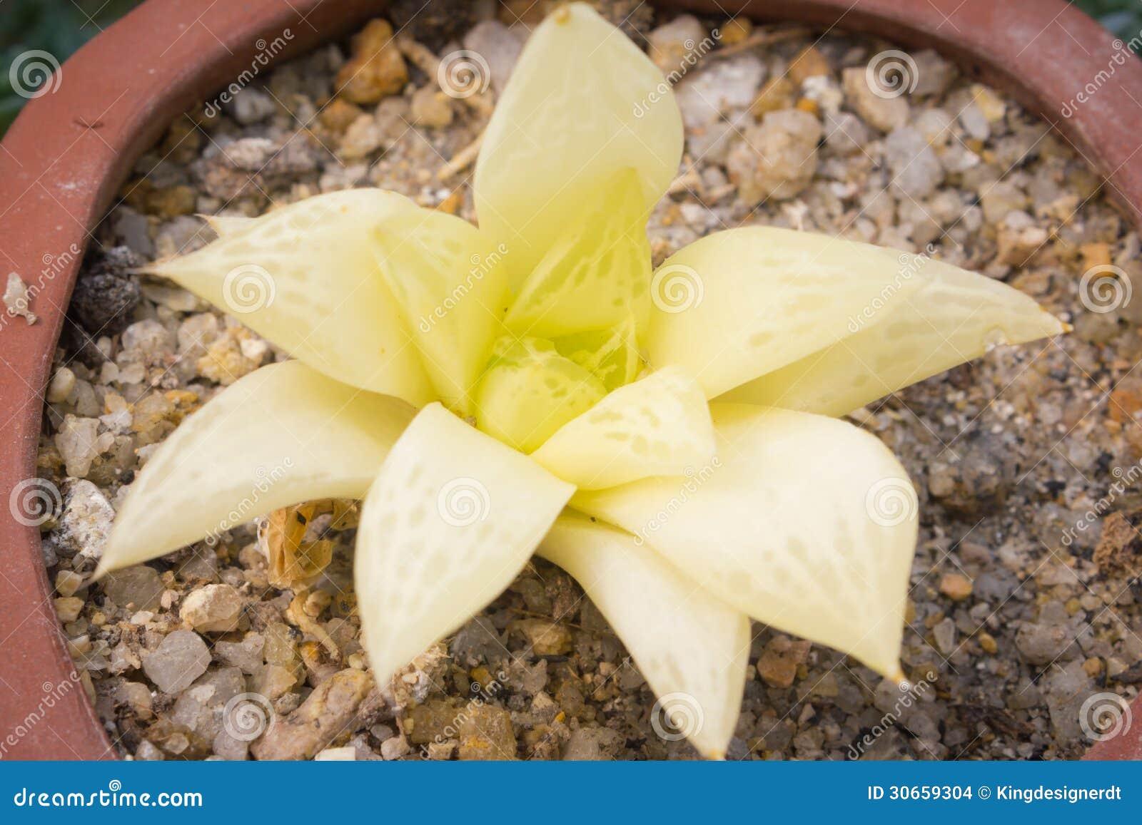 Succulent blanc