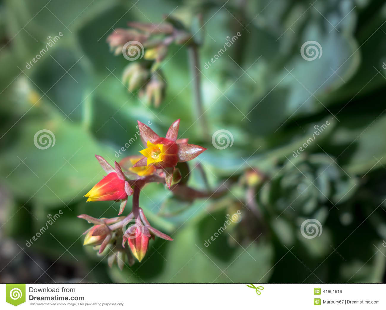 Succulent Flower Stock Photo Image Of Cactus Grown 41601916
