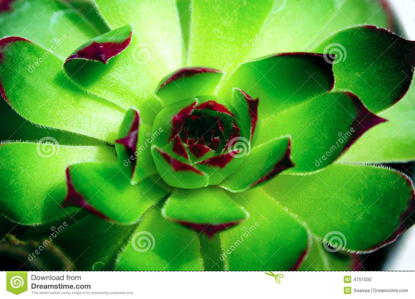 Succulent green
