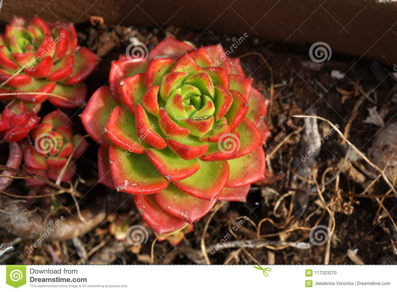 Succulent plant with green and red leaves