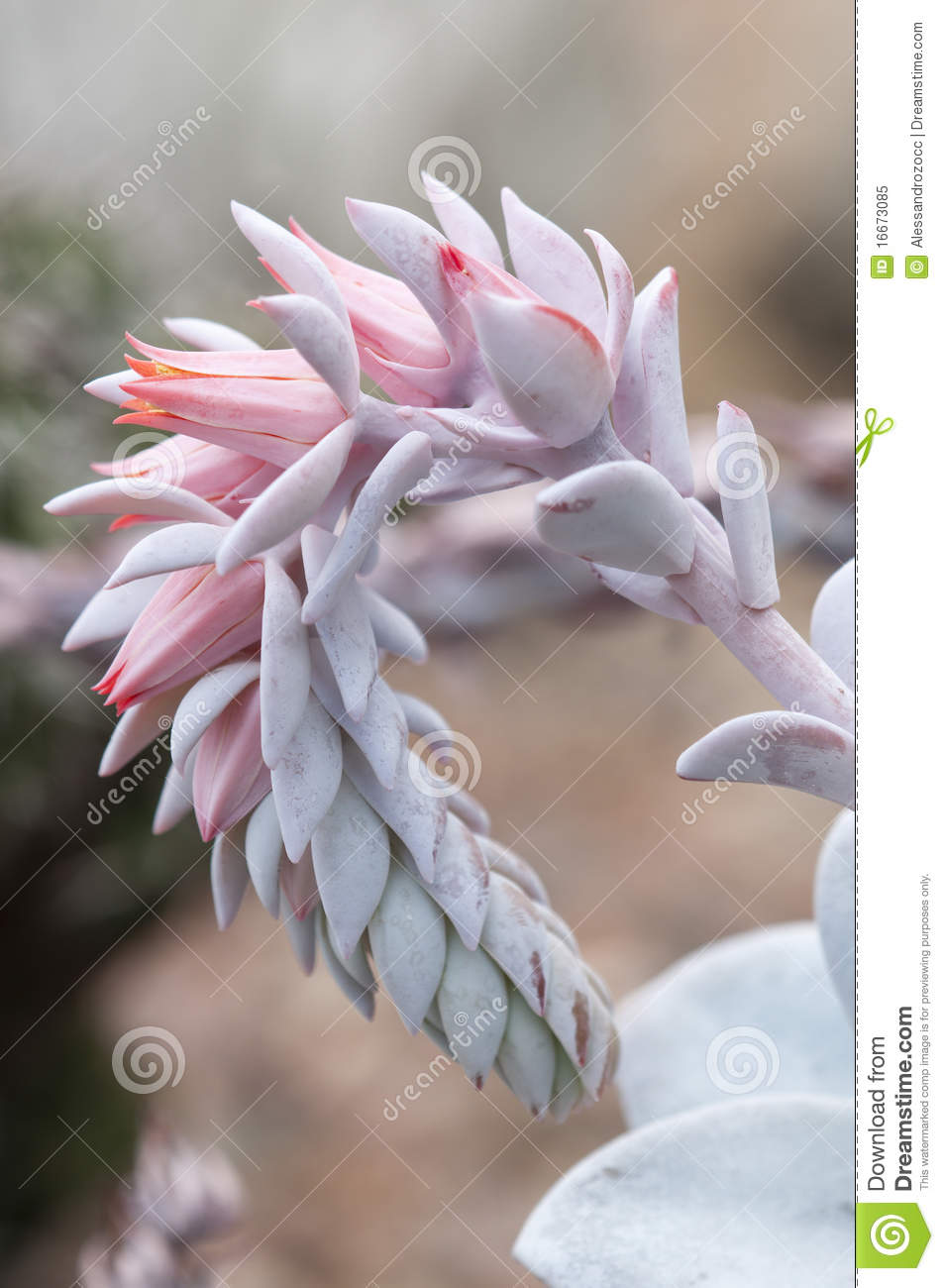 Succulent Plant With Pink Flower Stock Image Image Of Detail
