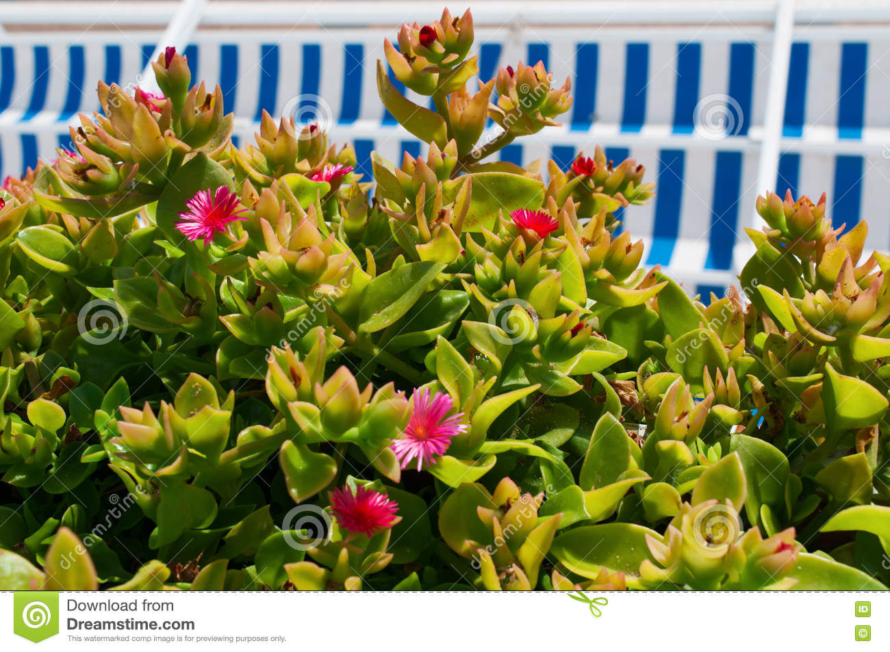 A Succulent Plant With Pink Flowers And Striped Awnings Stock Photo