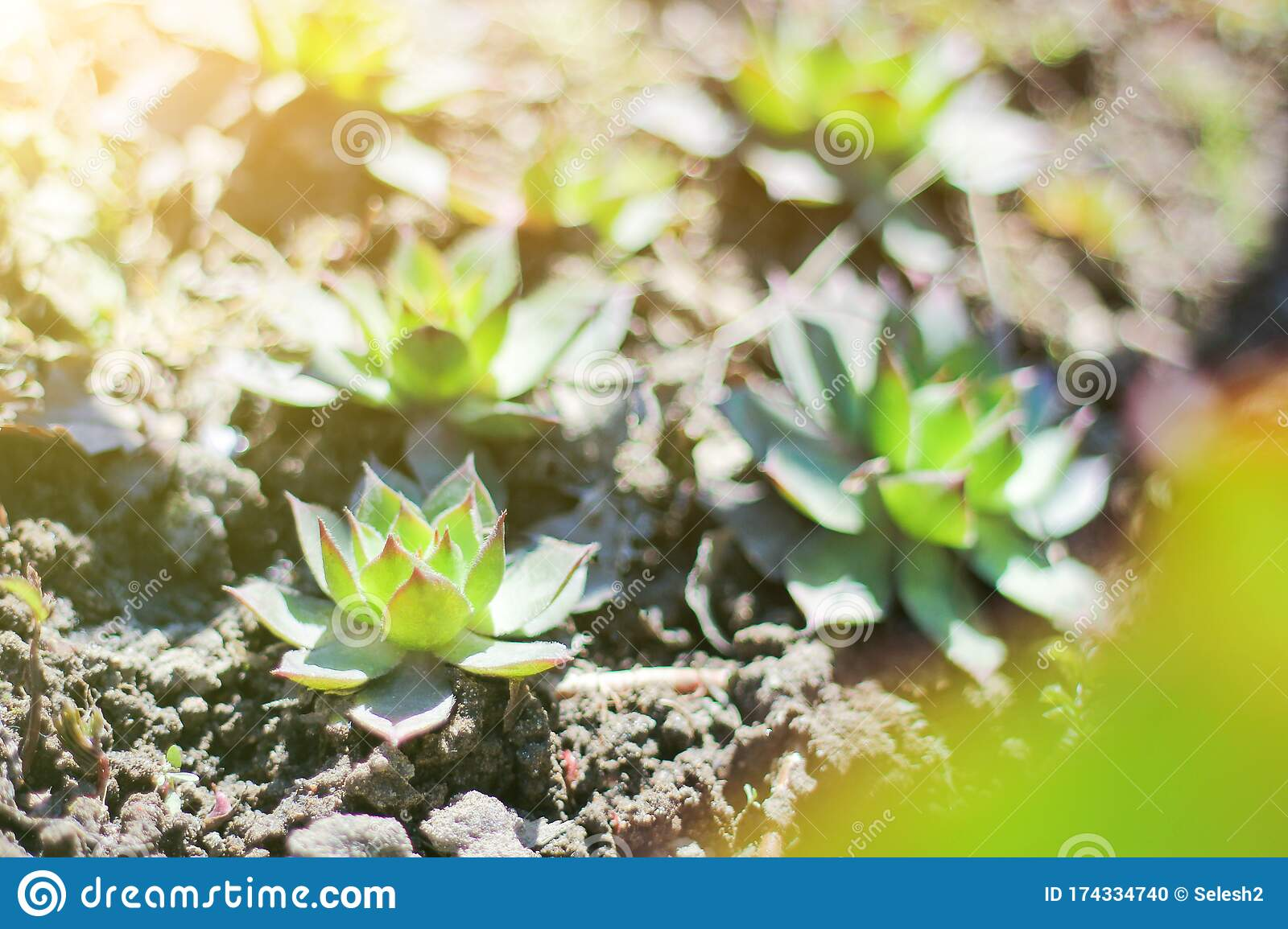 Succulent Plant In Spring On The Warming Sun Growing Succulents Stock Photo Image Of Horticulture Plant 174334740