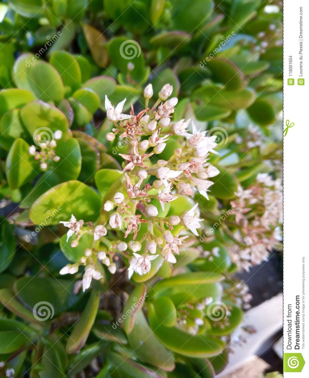 Blooming Succulent Plant Stock Photo Image Of Close 118001654