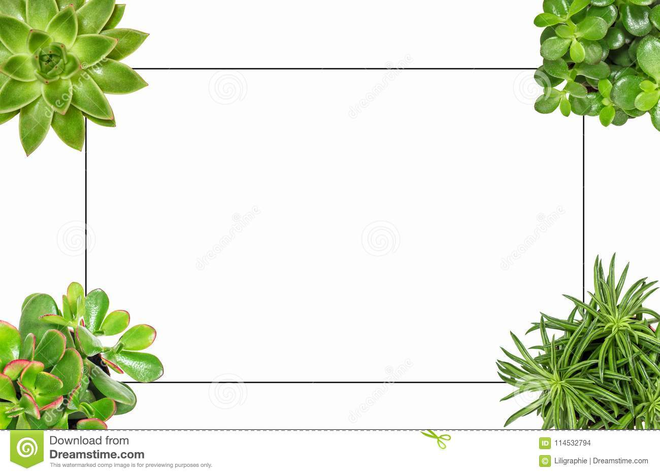 Succulent Plants White Background Flat Lay Frame Stock Photo - Image ...