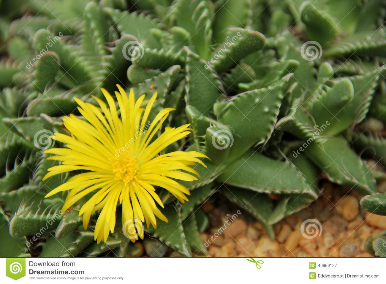 Succulent stock image image of garden grey living 40959127 download comp mightylinksfo