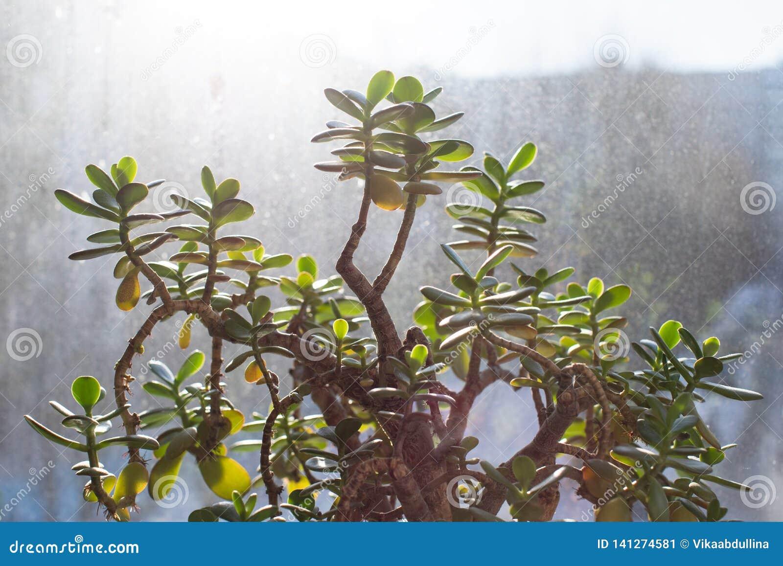 Succulente - pianta della giada di ovata della crassula, pianta di soldi con il fondo della finestra