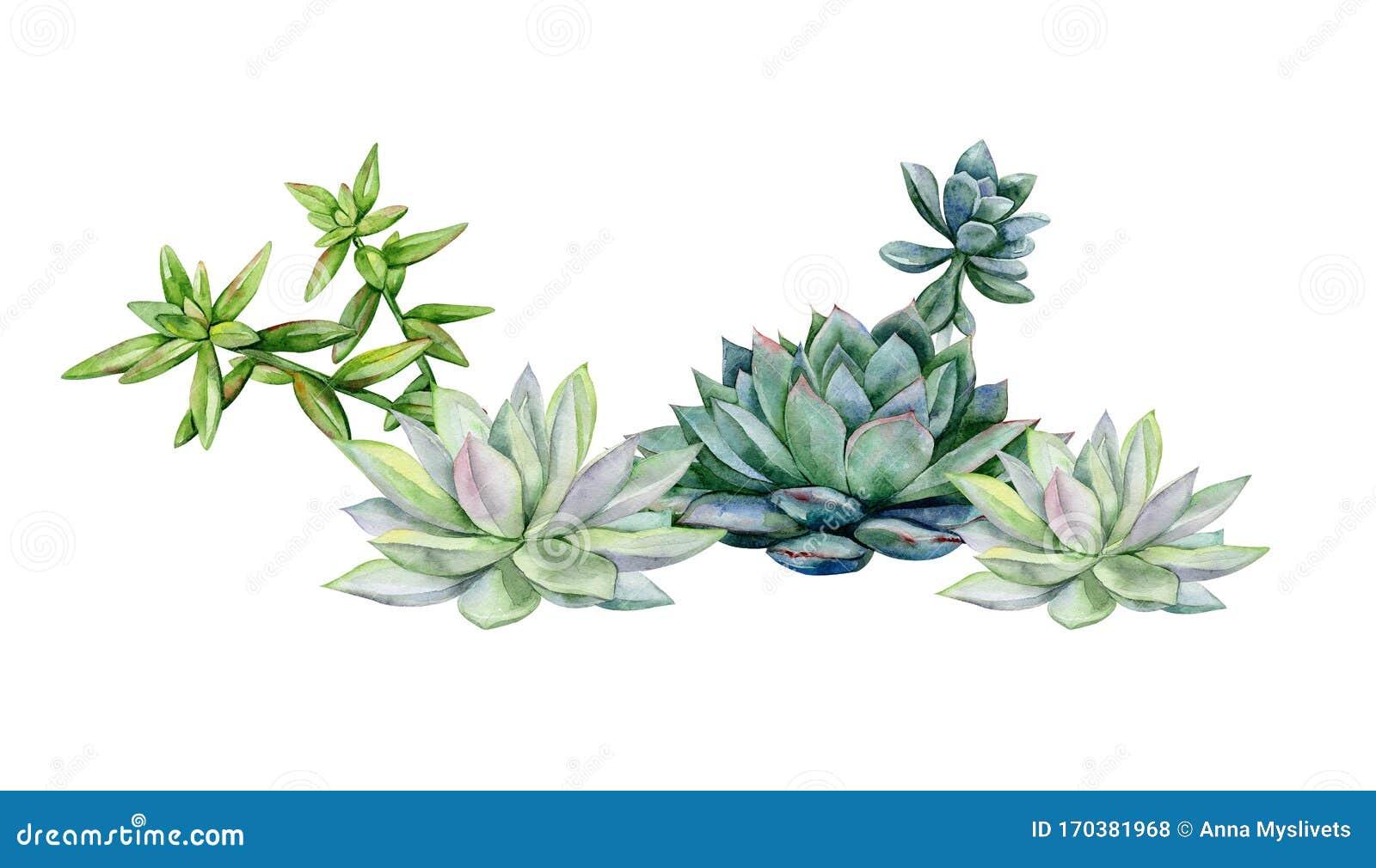 Watercolor Succulents Dudleya And Zwartkop Stock Illustration Illustration Of Aeonium Green 170381968
