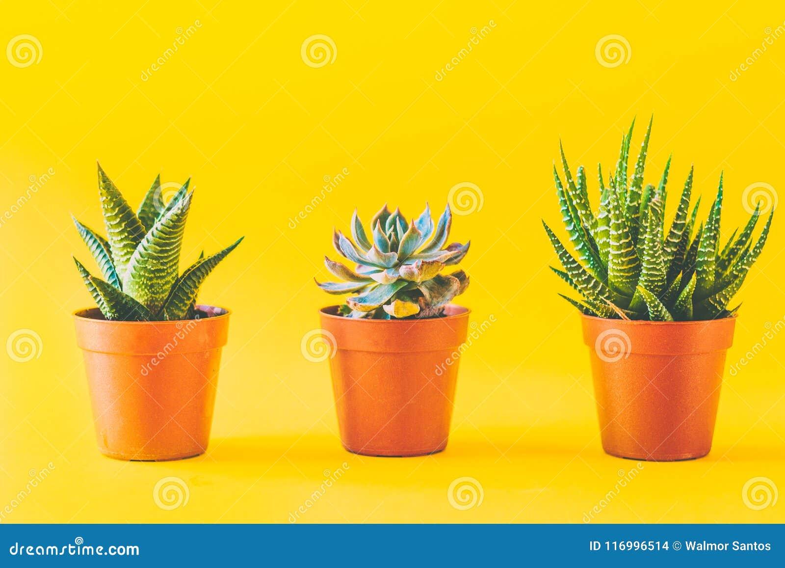 Succulents en jaune