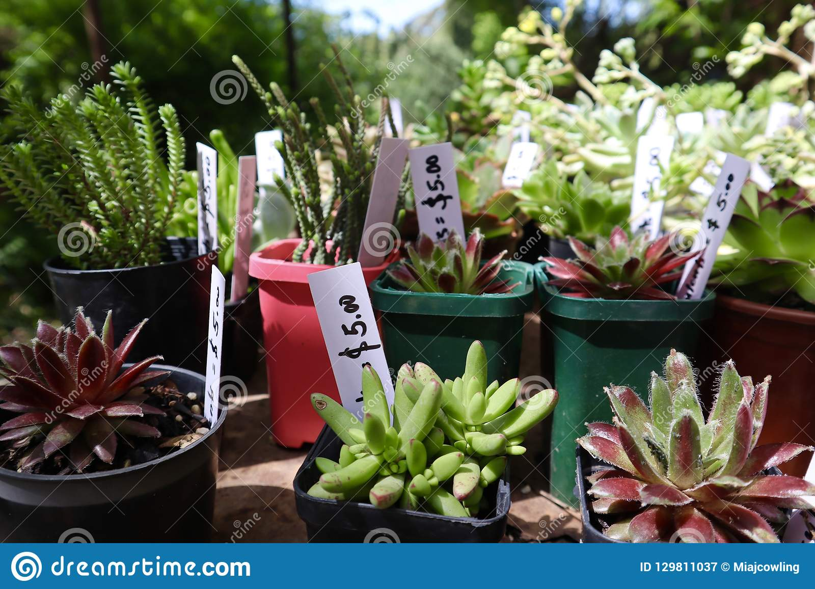 Succulents Growing In Pots At Market Stall Stock Image Image Of
