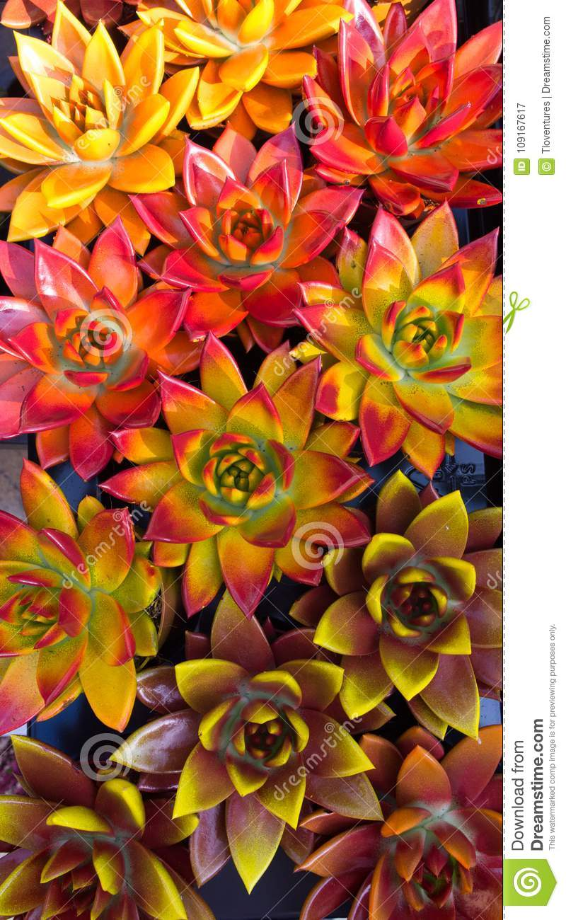 Colorful Succulents Photographed From Above Stock Image Image Of Maroon Plant 109167617
