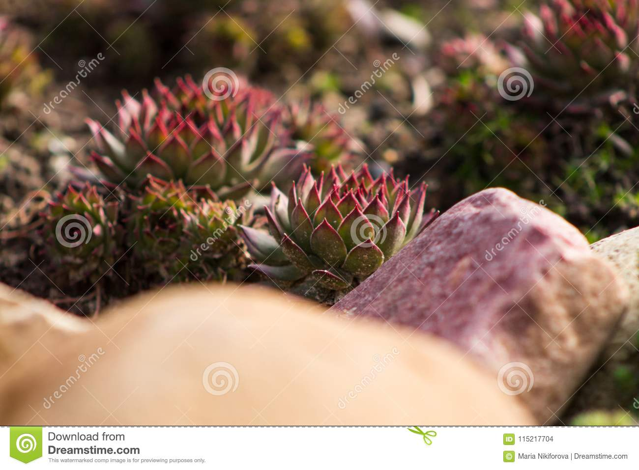 Succulents Outdoor Sempervivum Or Stone Rose Or Hen And Chicken