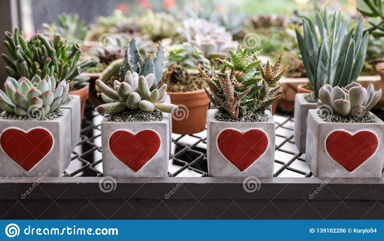 Succulents Plants Collection Prepared In Beautiful Pots For Valentines Day Gift Concept In The Flowers Bar Stock Photo Image Of Growth Echeveria 139102206