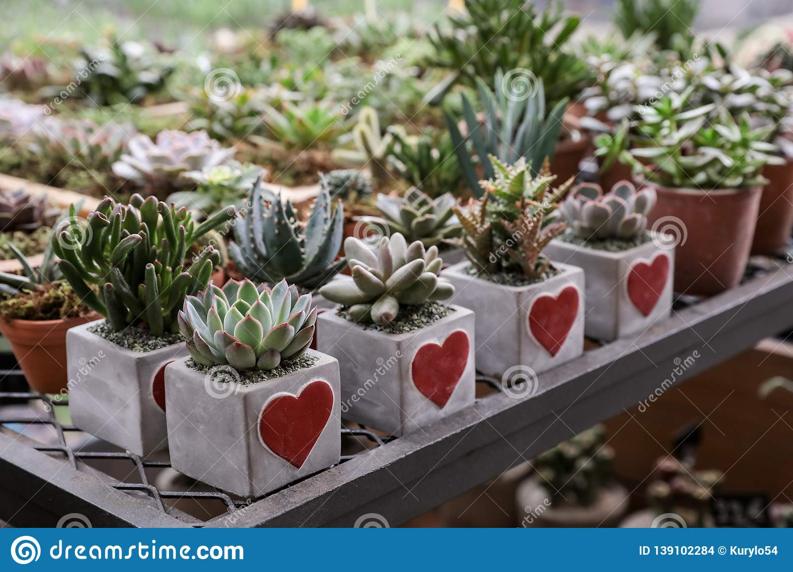 Succulents Plants Collection Prepared In Beautiful Pots For Valentines Day Gift Concept In The Flowers Bar Stock Photo Image Of Heart Concept 139102284