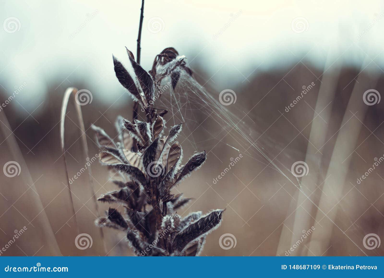Sucha pi?kna ro?lina z sieci? w g?r? W jesieni trawa blakn?ca i susz?ca w g?r? str?czkowy