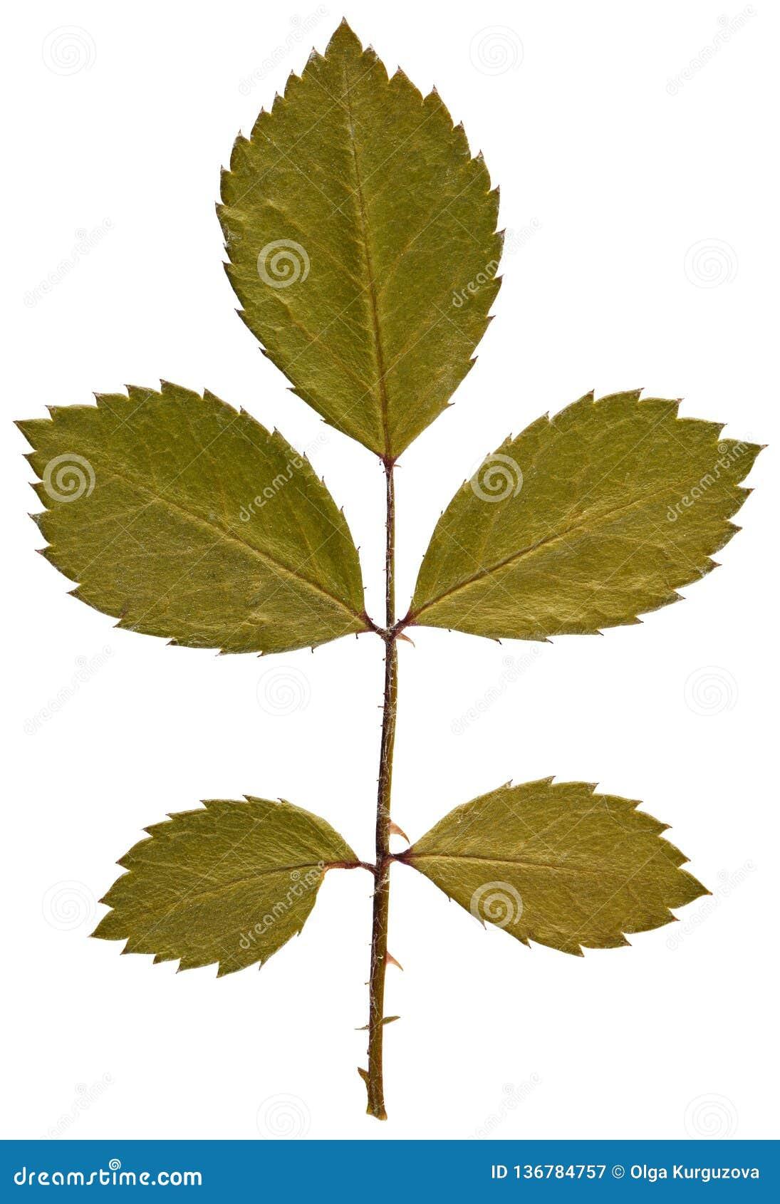 Suchy liść wzrastał od herbarium odizolowywającego na białym tle
