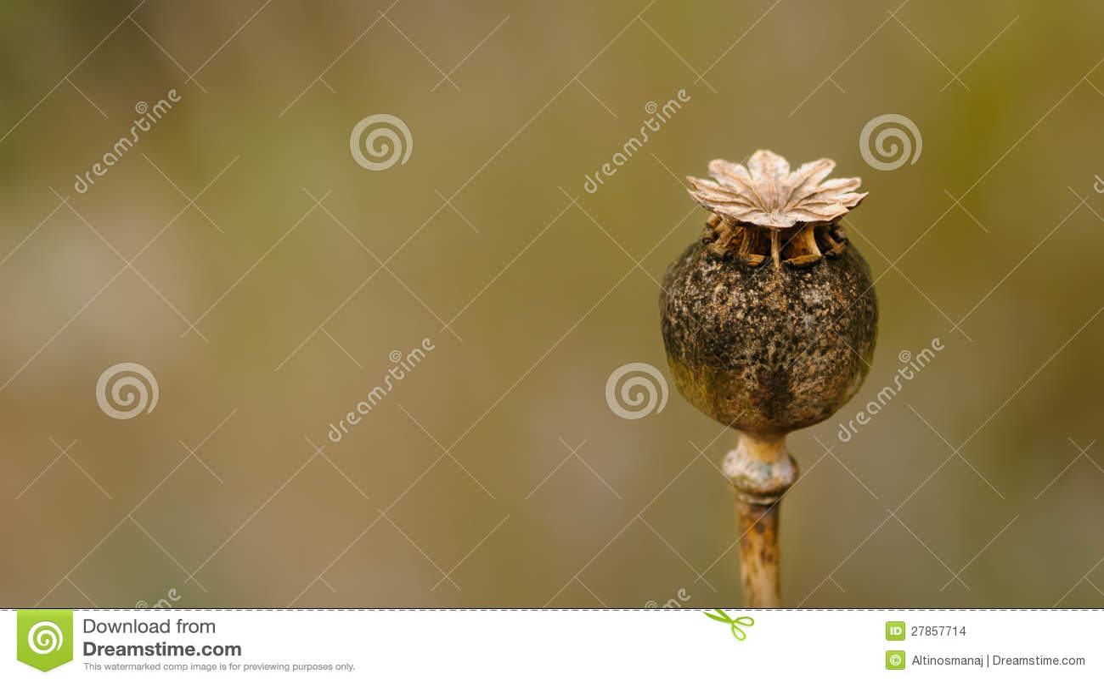Suchy Makowy kwiat