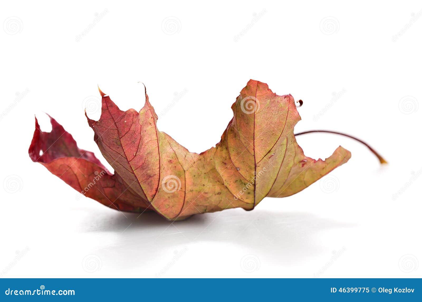 Suchy mapple liść