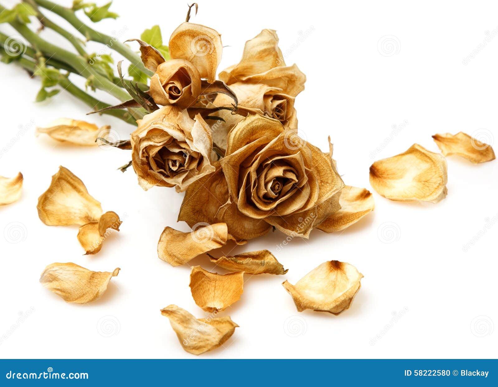 Suchy róża kwiat