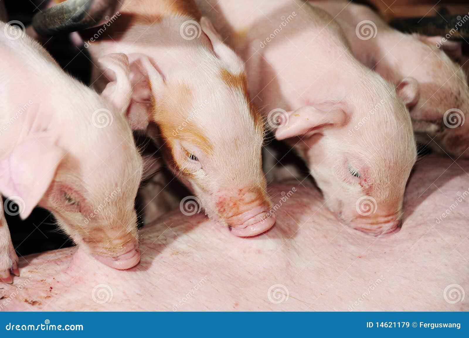 The sucking piglets.