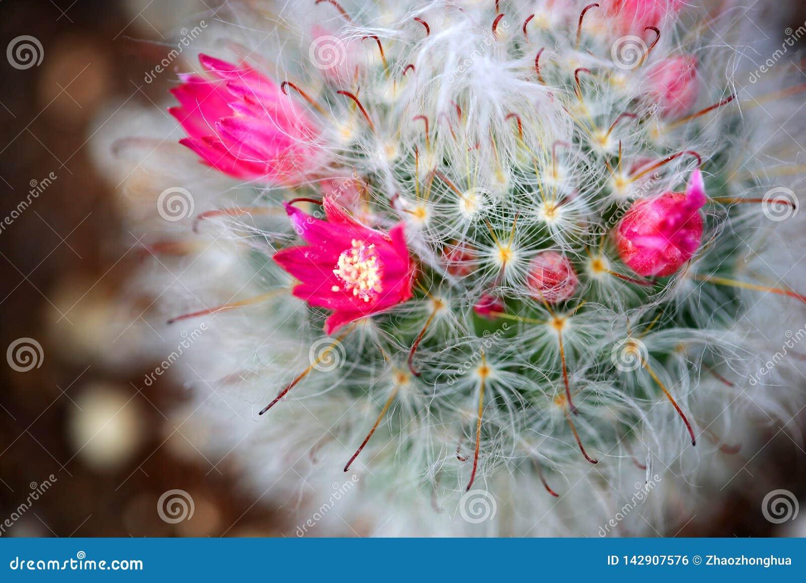 Suckulenta växter blommar härligt attraktivt