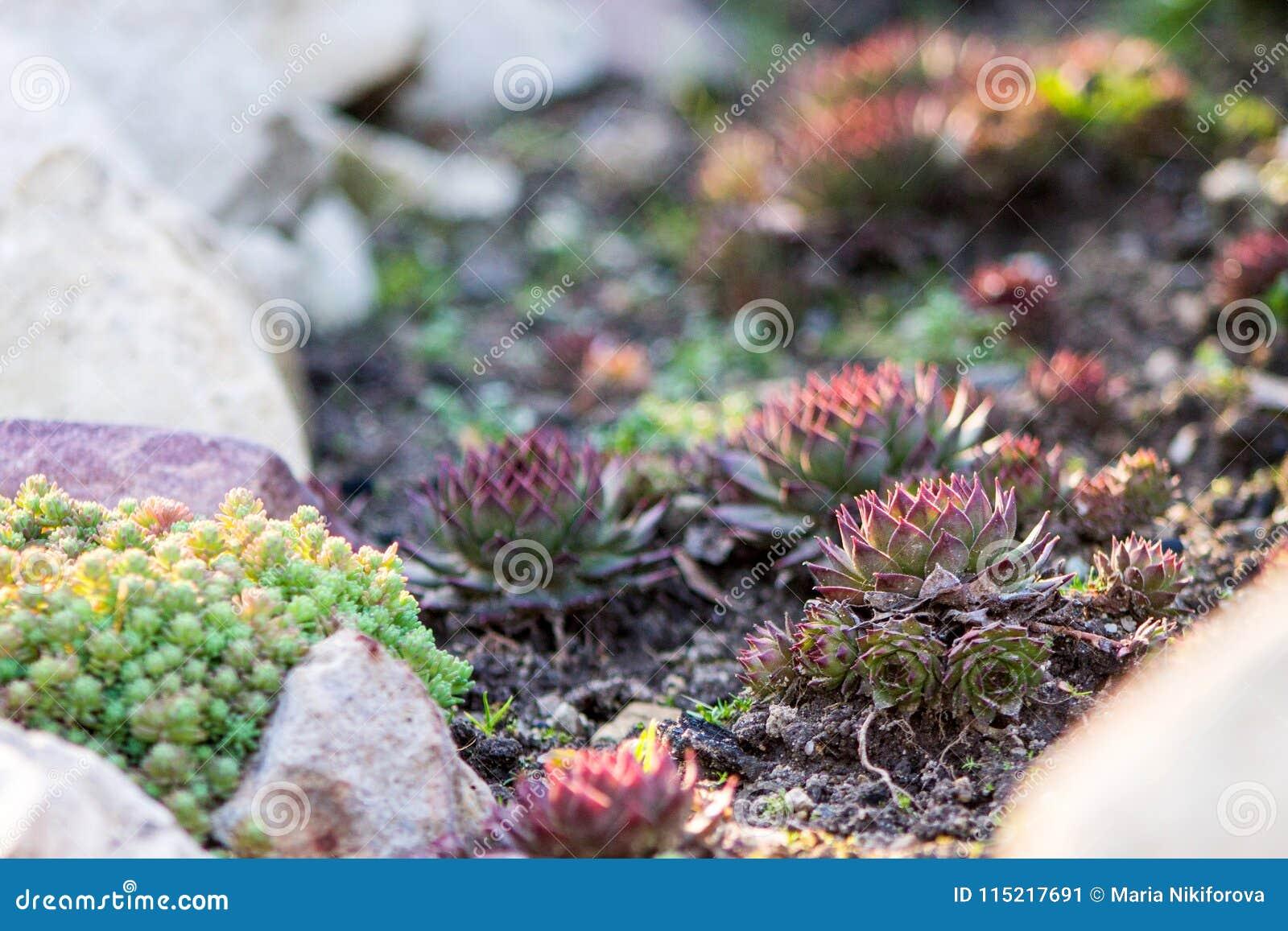 Suckulenter Sempervivum eller rosa sten eller höna och höna och gree