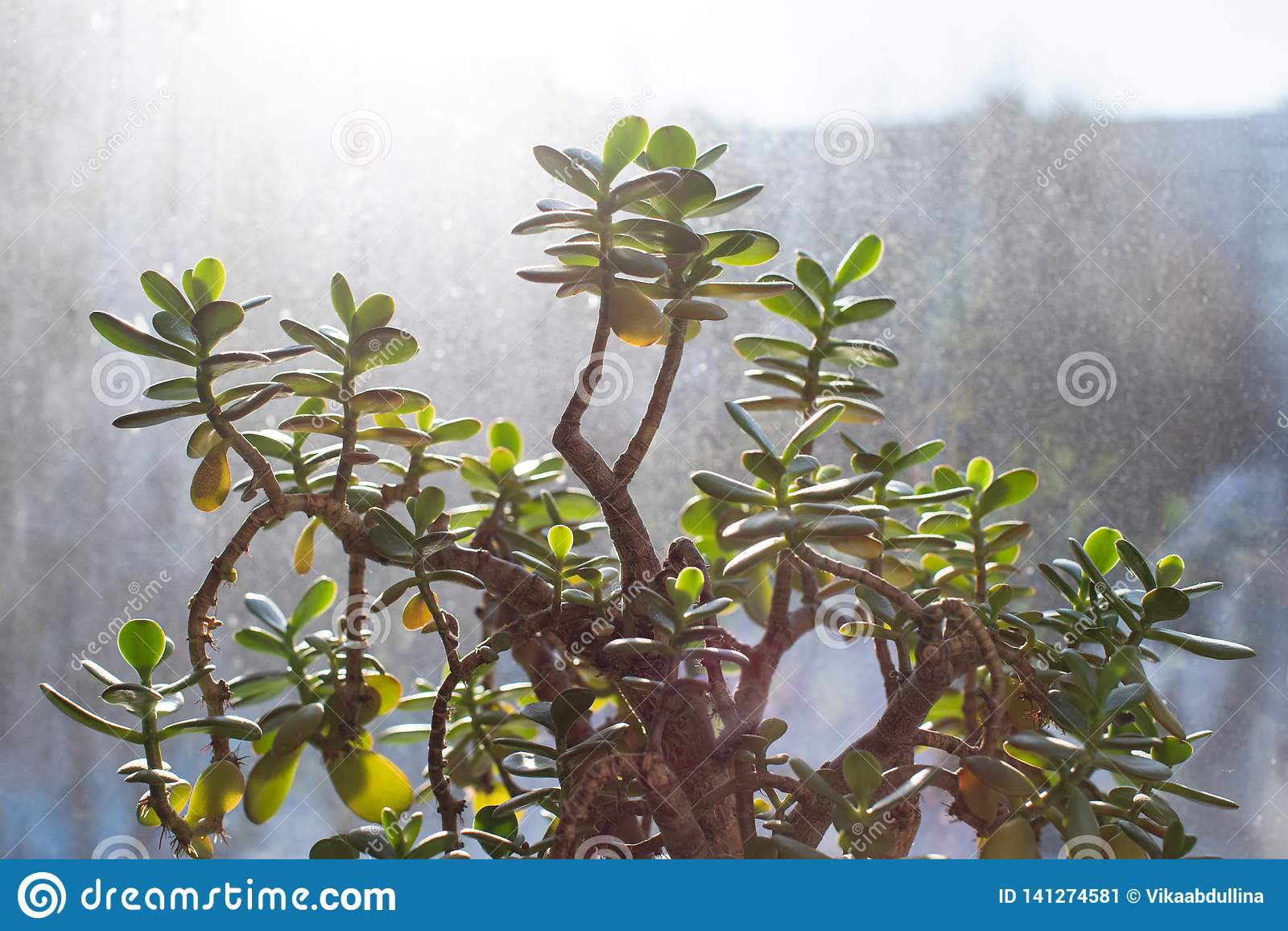 Suculento - planta del jade del ovata del crassula, planta de dinero con el fondo de la ventana