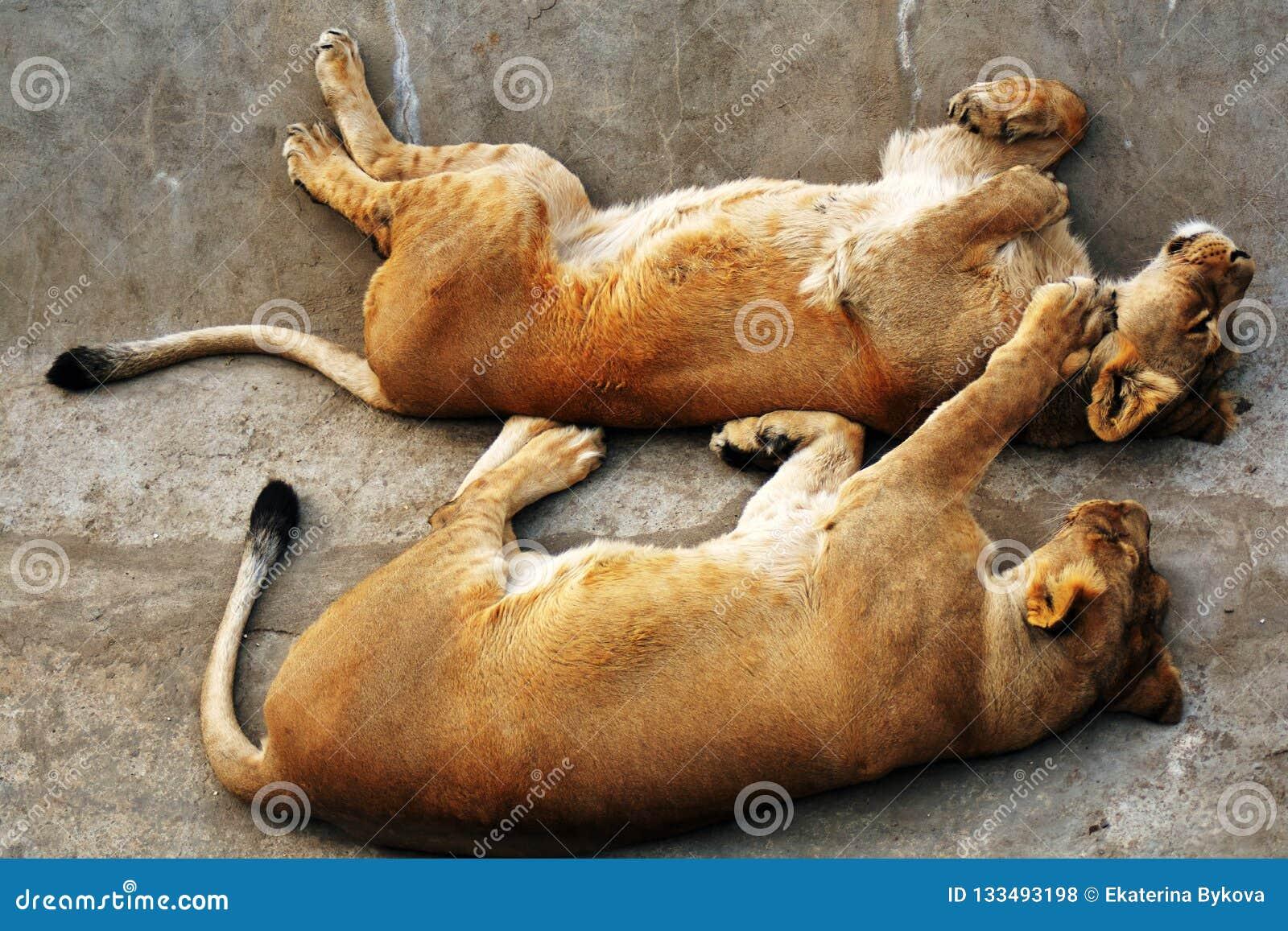 Sueño del león y de los lionesss en superficie de piedra gris