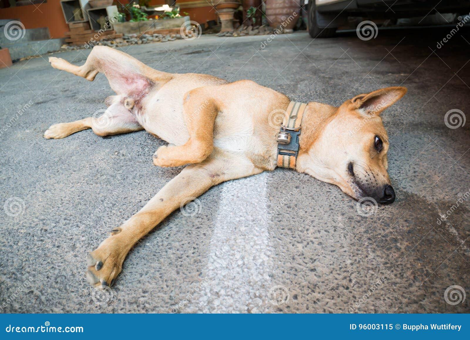 Sueño del perro de Brown en el piso