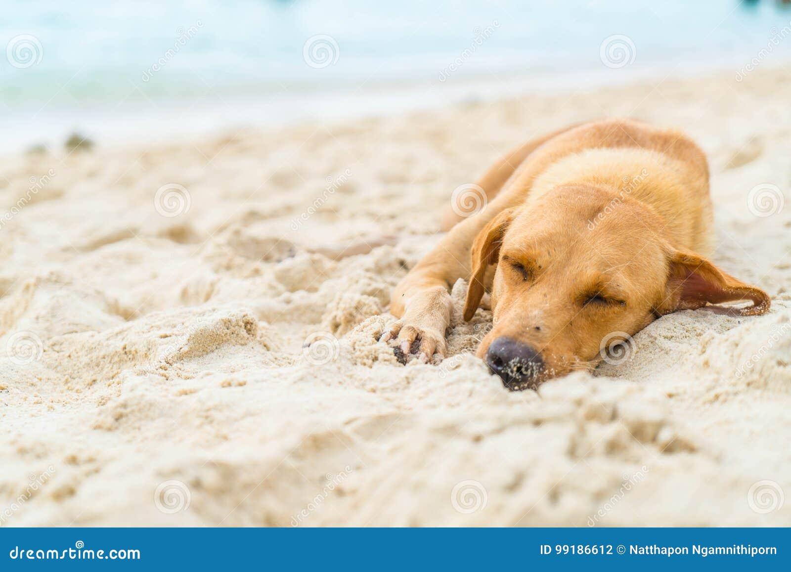 Sueño del perro en la playa