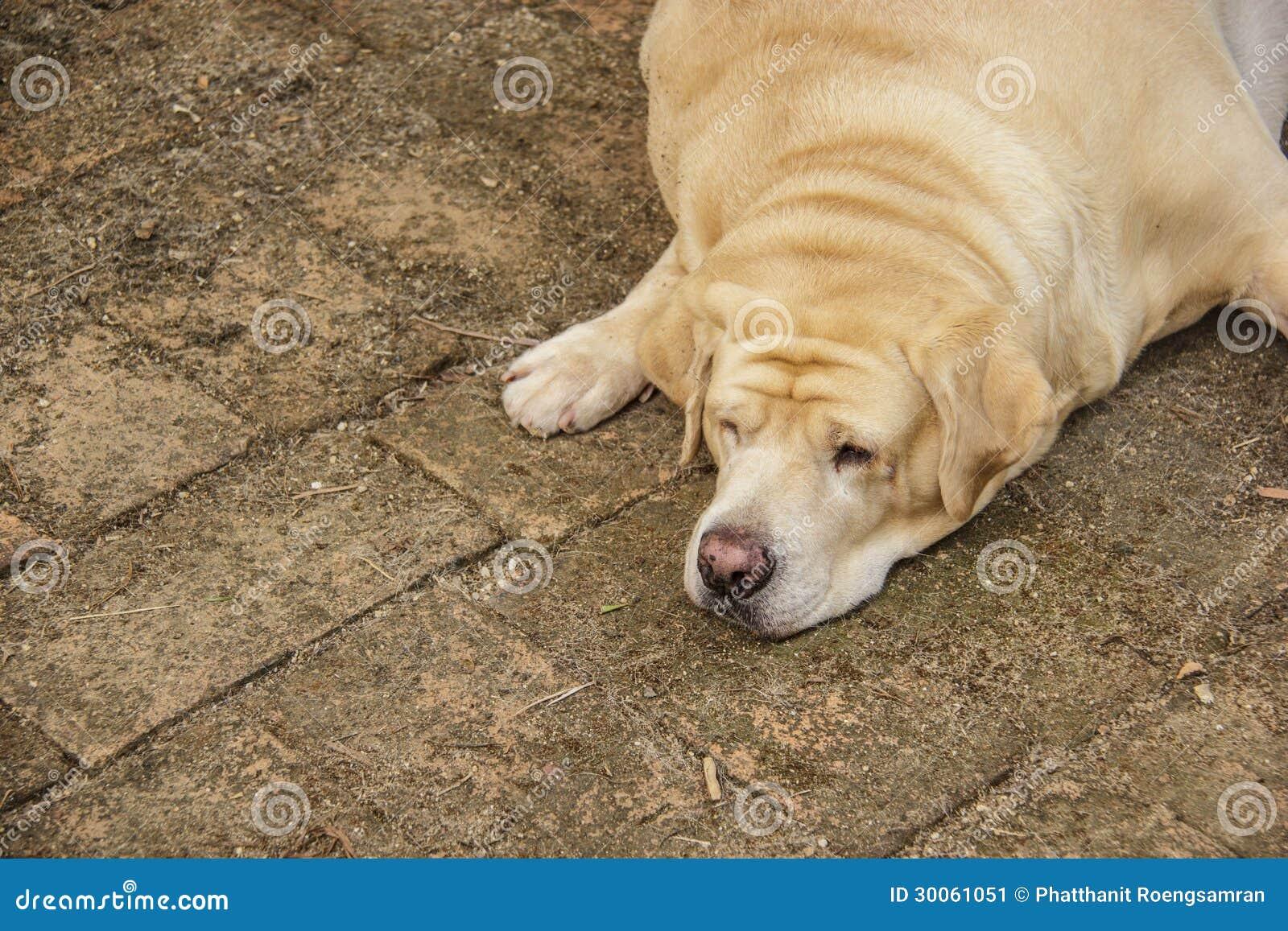 Sueño gordo del labrador retriever en el piso