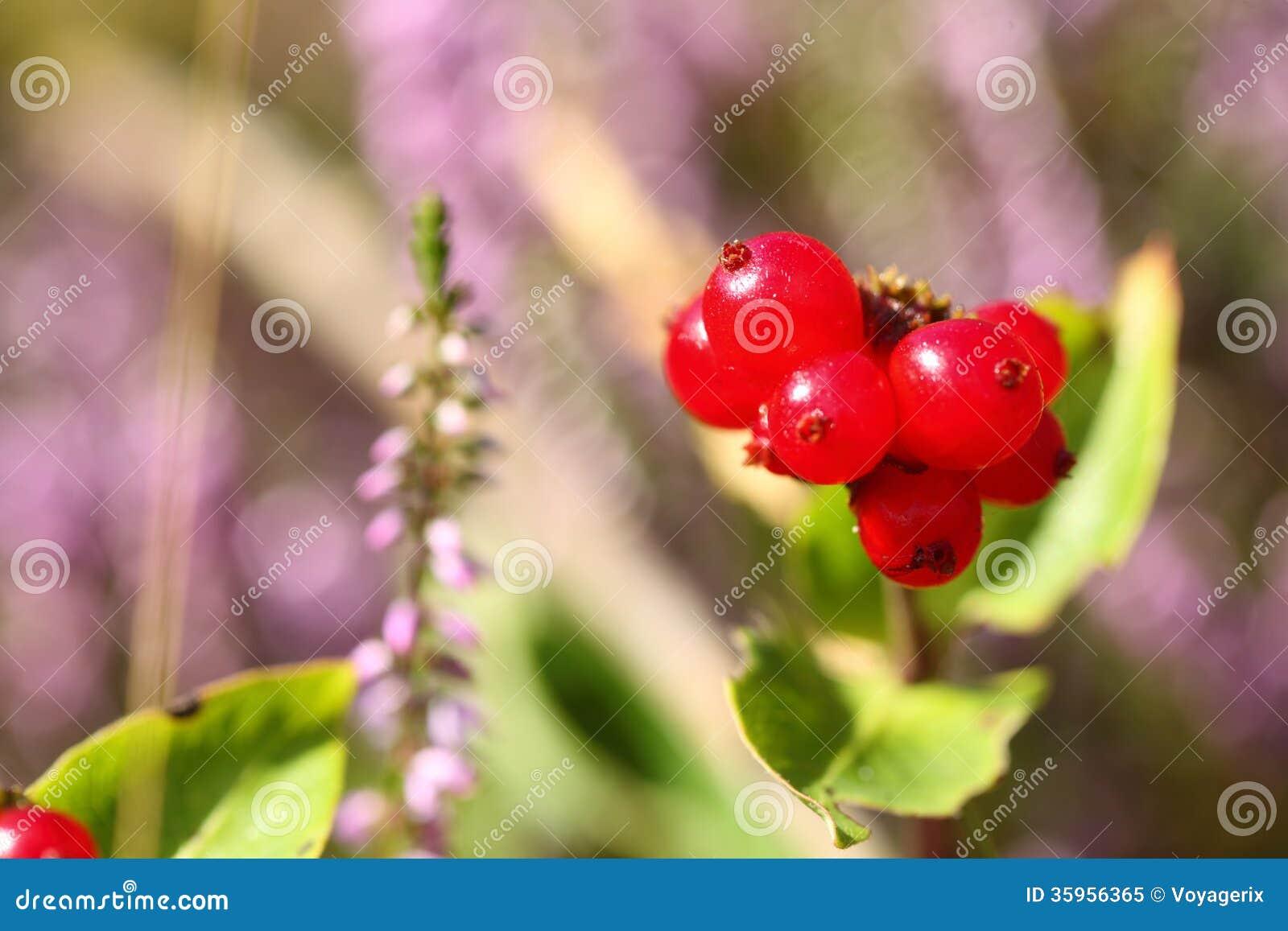 Suecica rojo no comestible salvaje del Cornus de las bayas