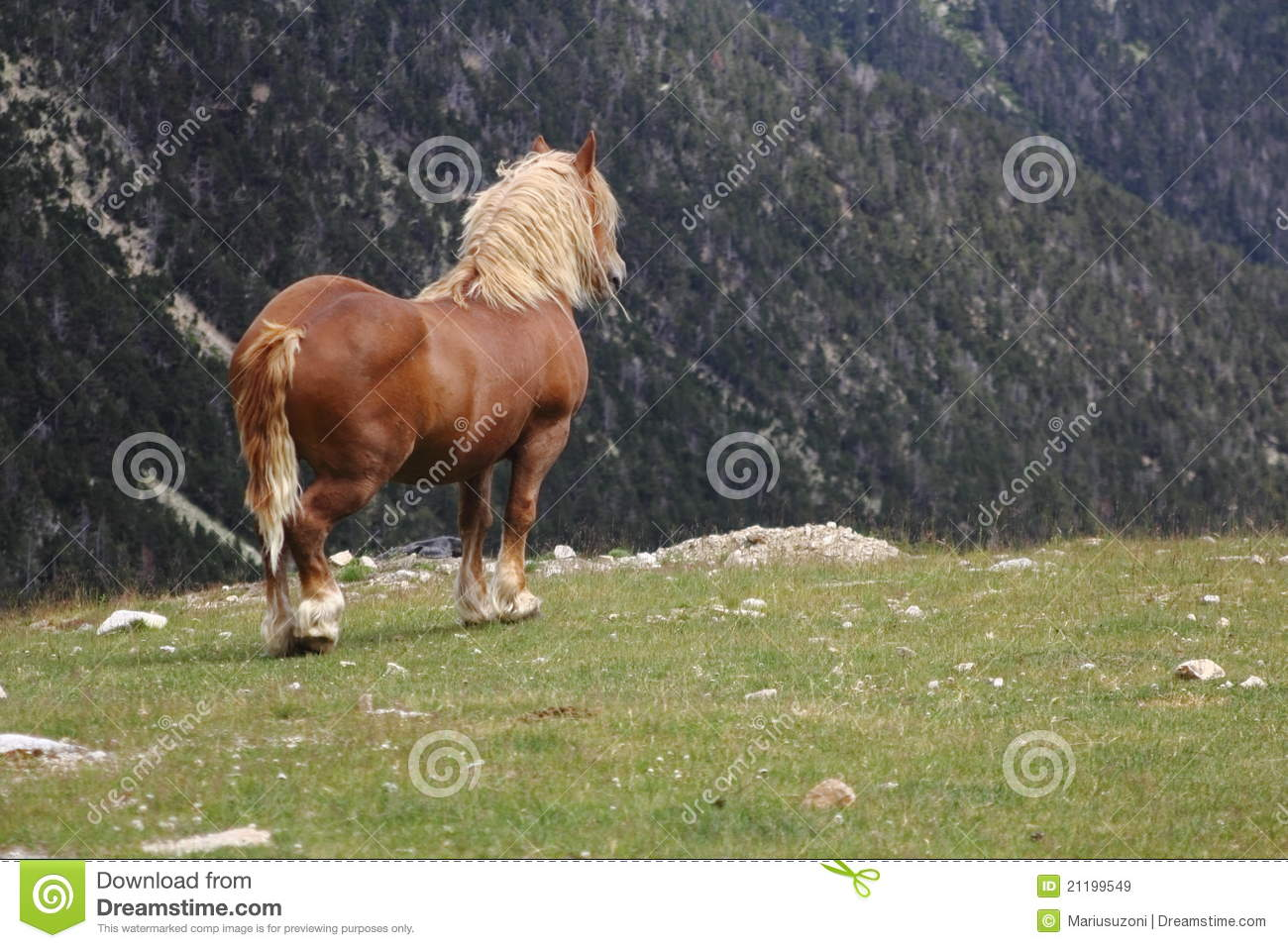 Suffilk Punch horse in the nature