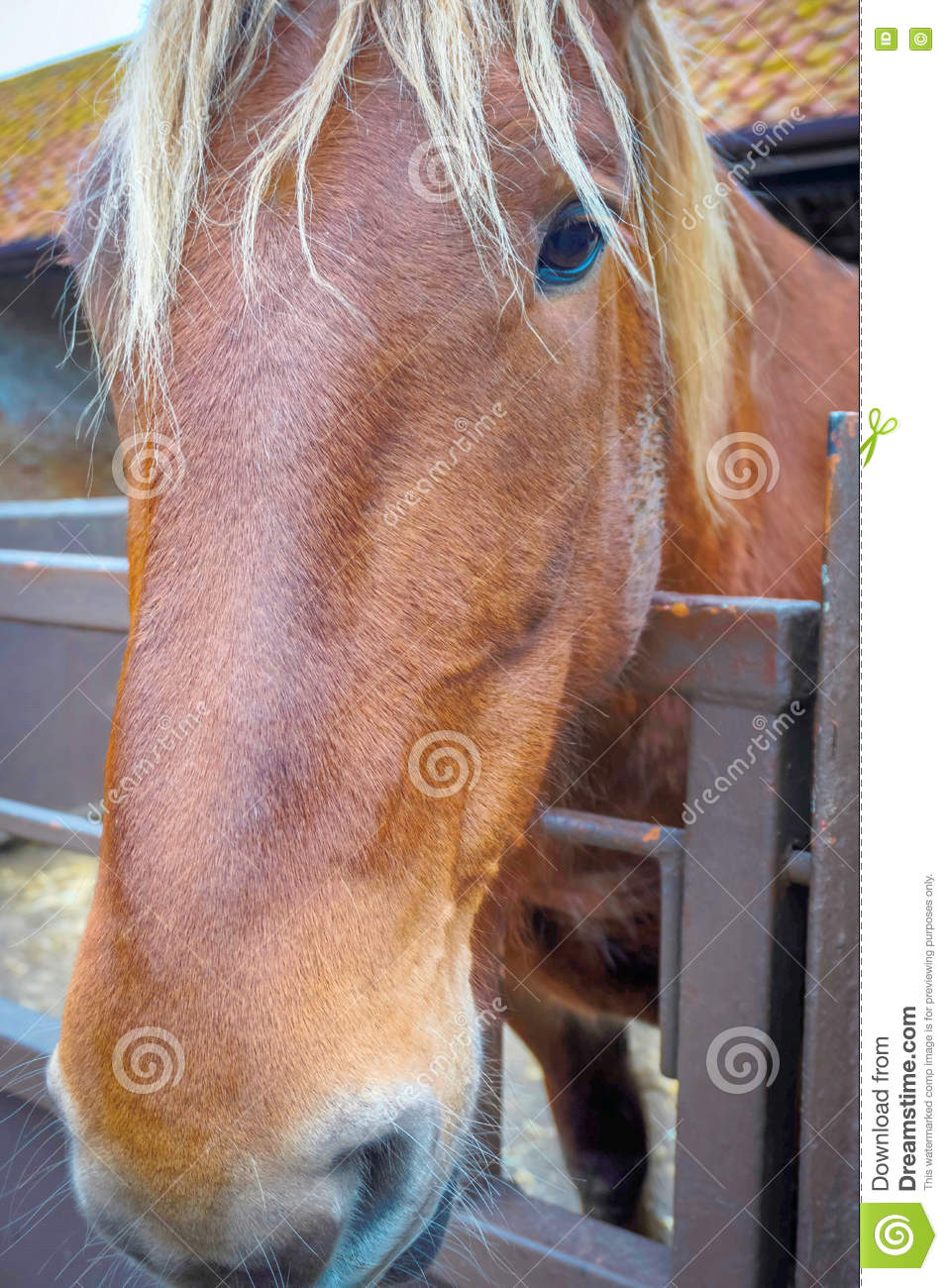 Suffolk Punch Beautiful Face Stock Image Image Of Horse Element 71805643