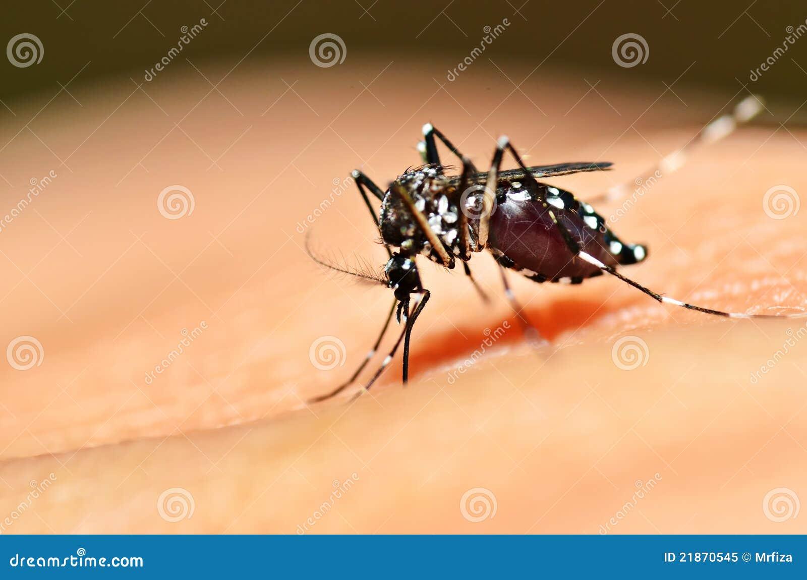 Sugação do mosquito do Aedes
