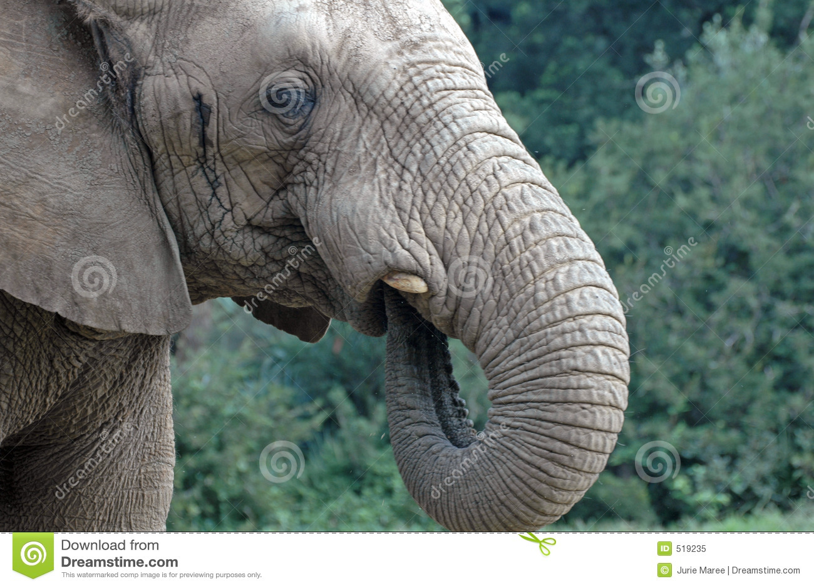 Sugande trumf för elefant