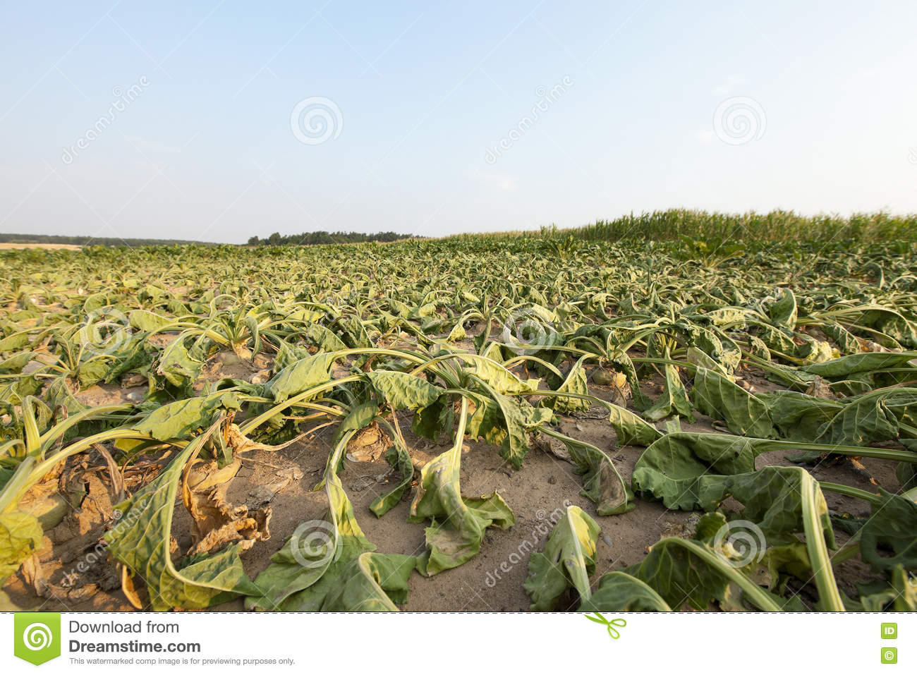 Sugar beet in drought