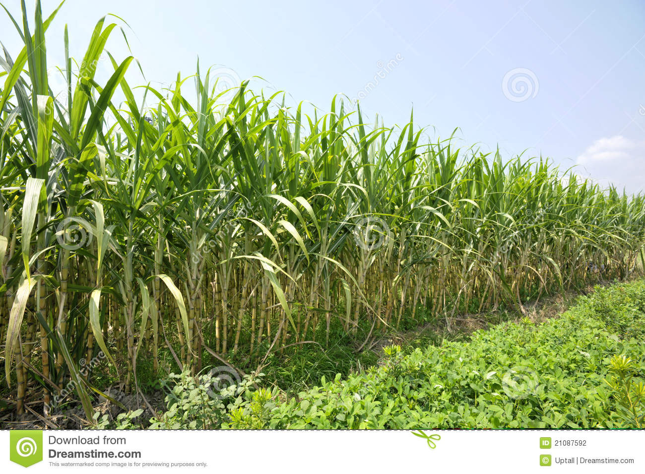 Sugar Cane Farm Stock Photography - Image: 21087592