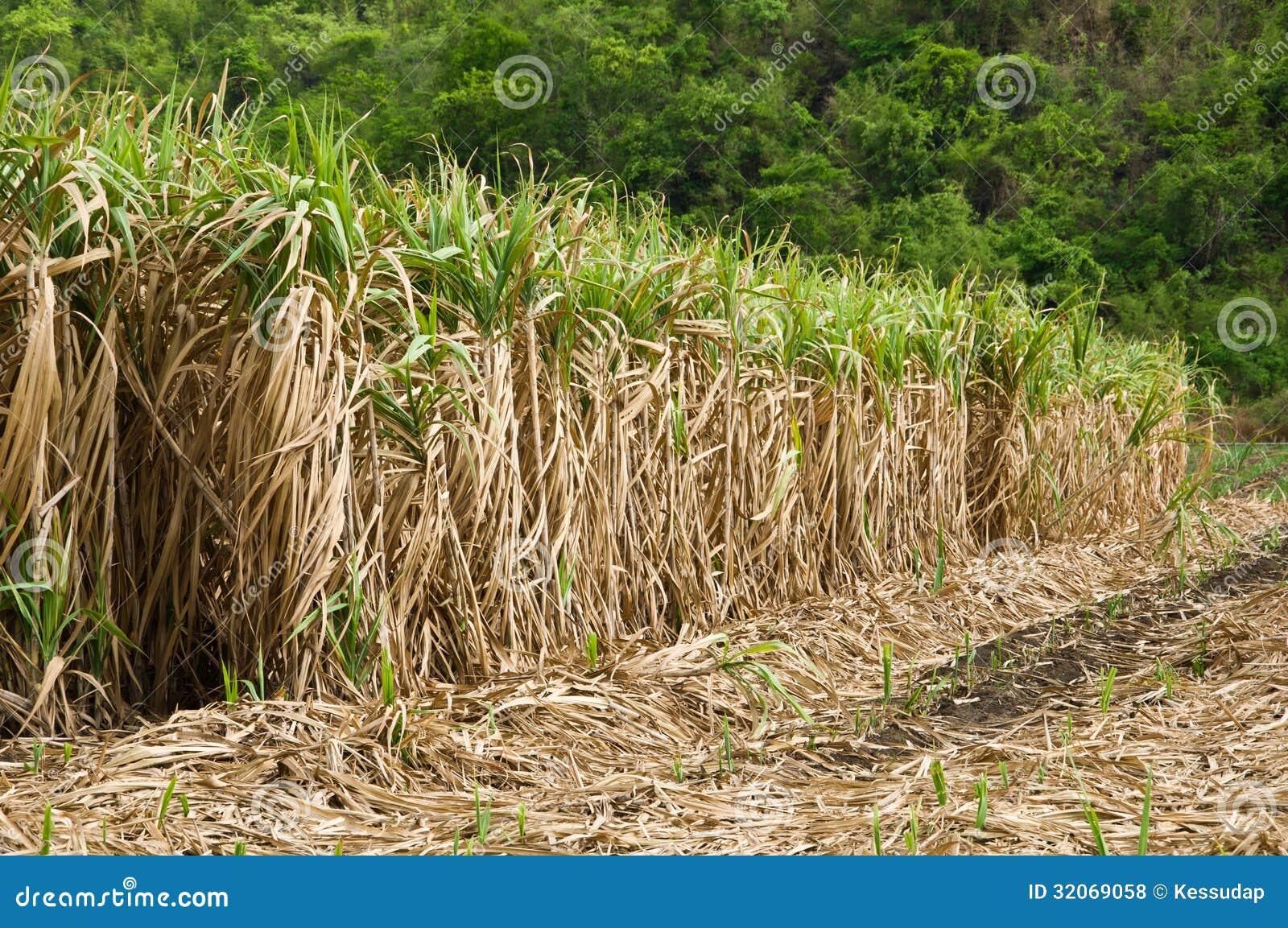 Sugarcane Juice Business Plan, Ideas & Opportunities