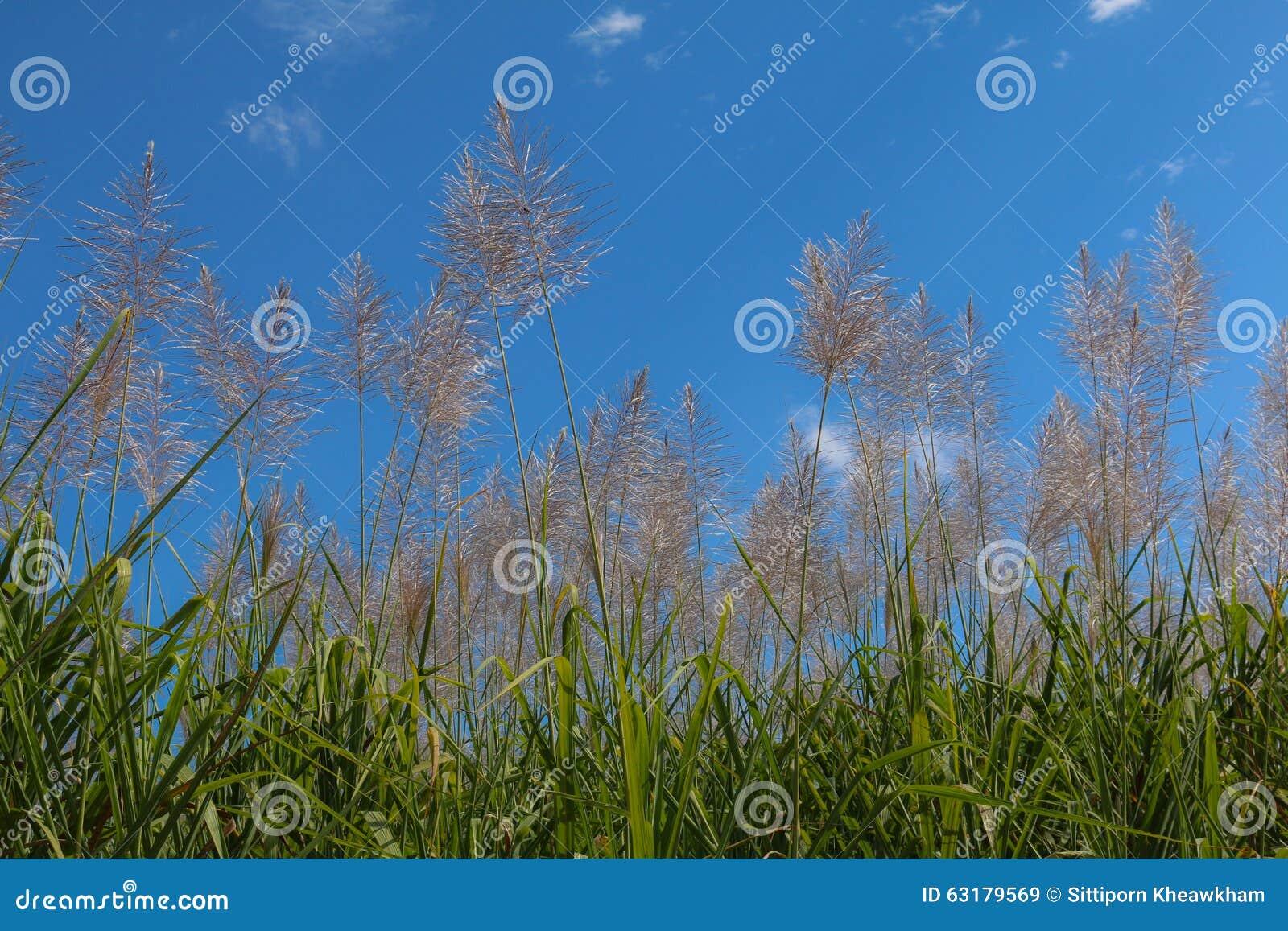 Sugar Cane Flower Sunrise,Beauty Blue Sky Stock Photo ...