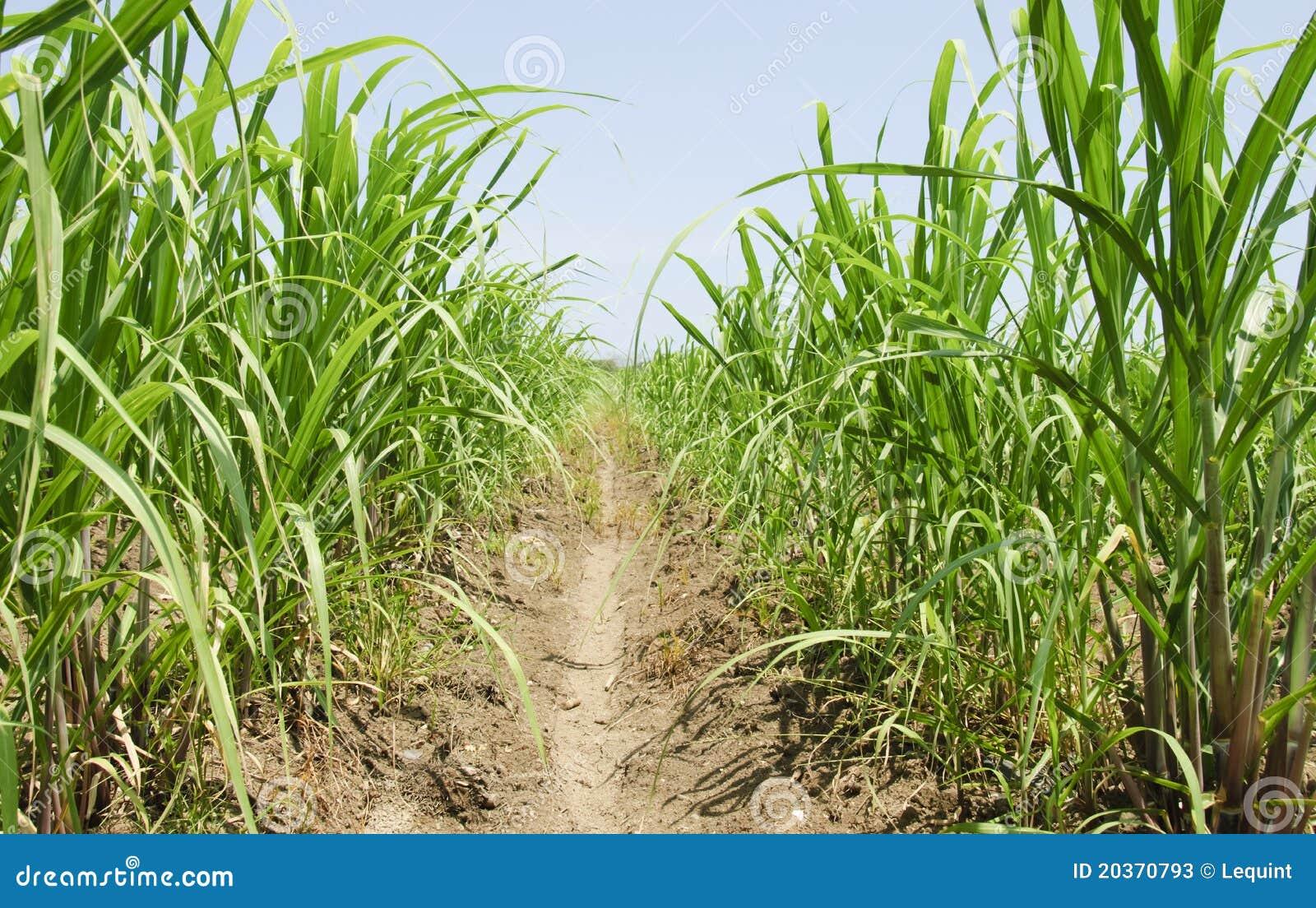 Sugar Cane Grass Stock Image. Image Of Ethanol, Cane