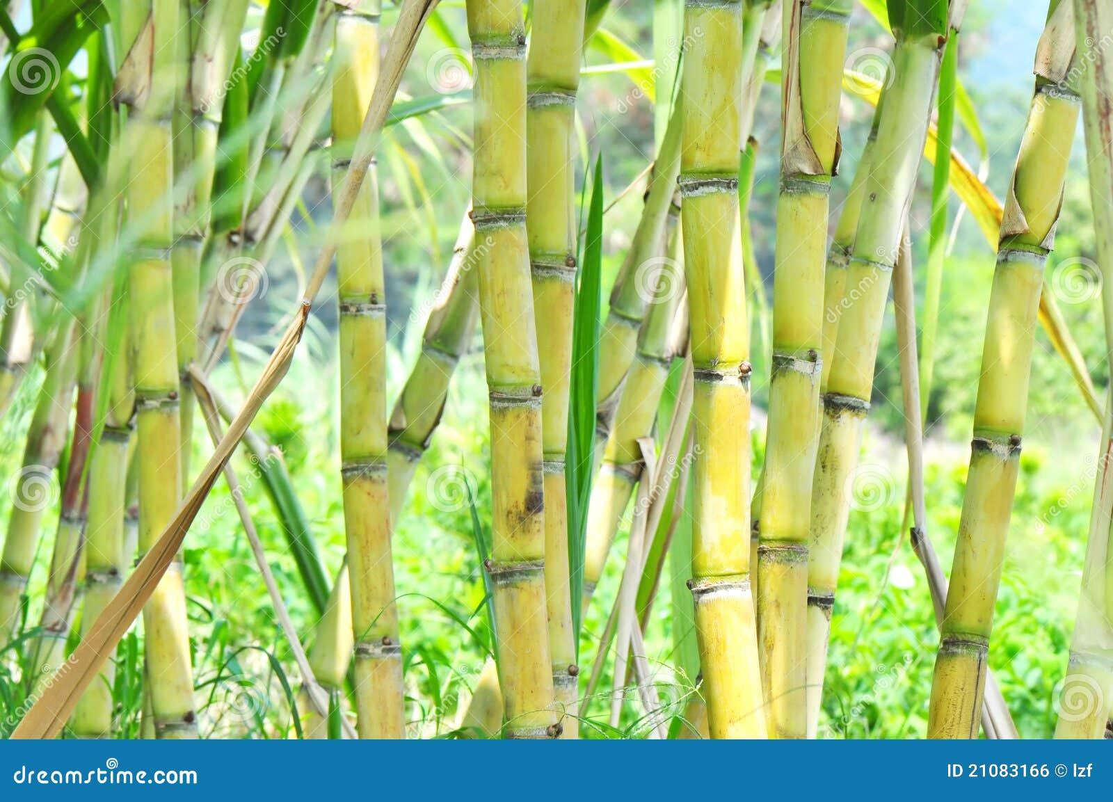 Sugar Cane Plants Royalty Free Stock Image
