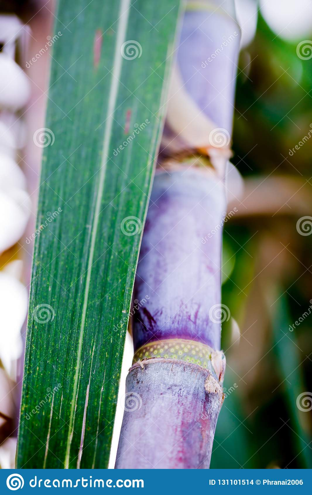 Sugar cane plants in growth at field.