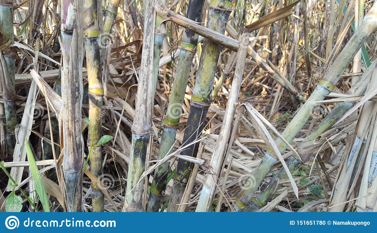 Sugar cane plants with various variants.