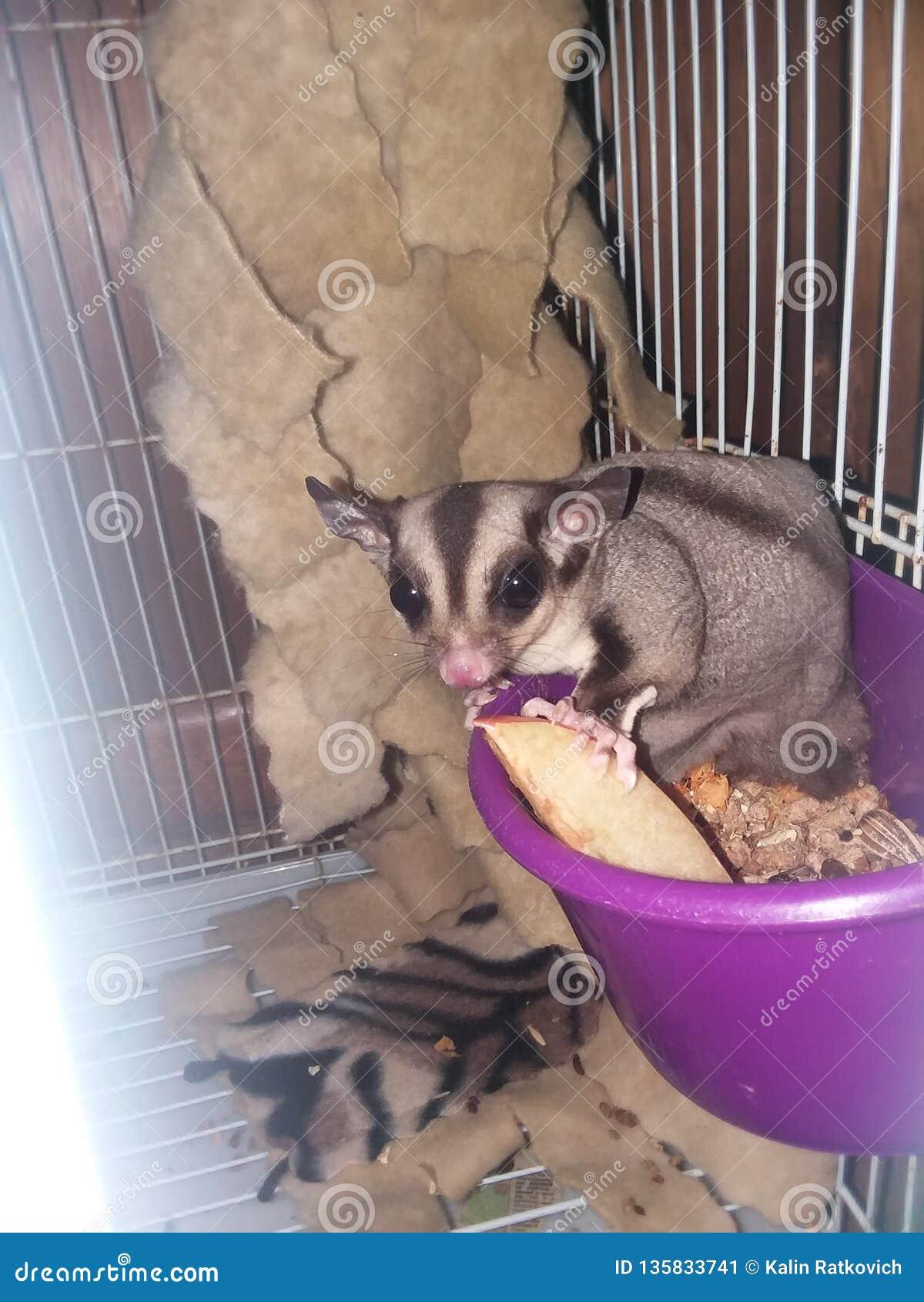 Sugar Glider snacking