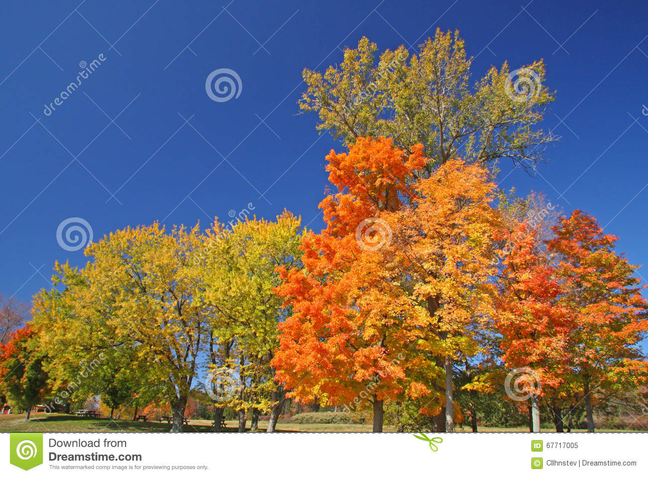 Sugar Maple trees in fall