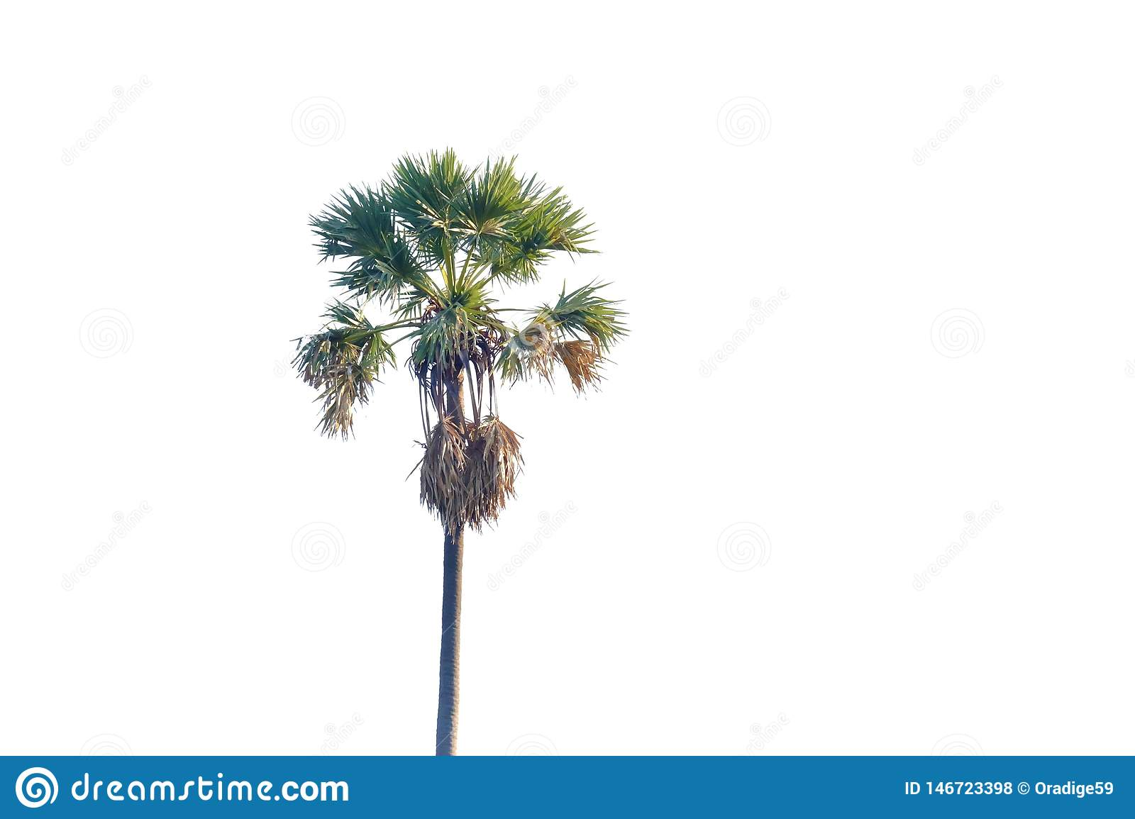 Sugar palm tree growing in a garden on white isolated background for green foliage backdrop