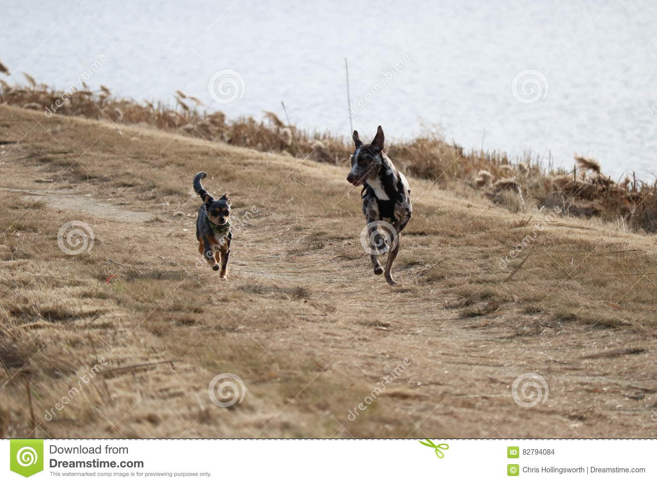 Sugar Puppy On The Run Stock Photo Image Of Catahoula 82794084