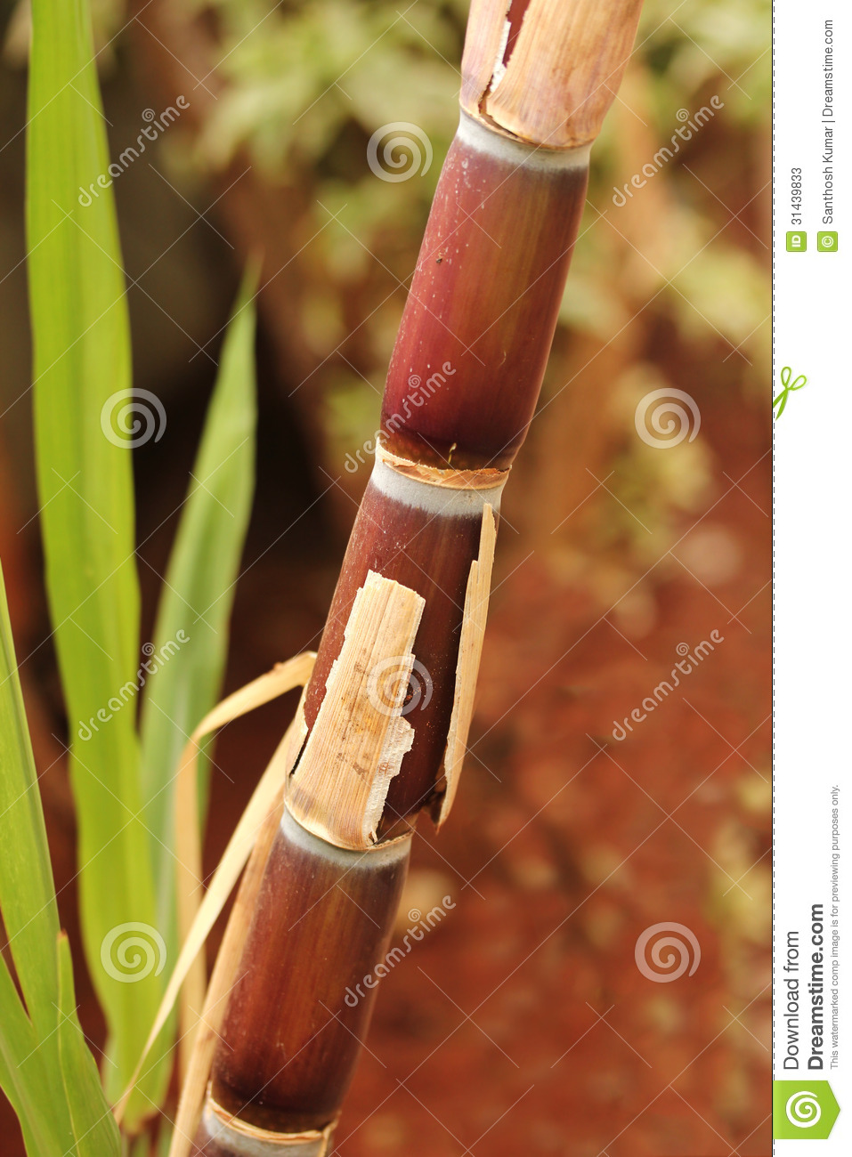 Sugarcane crop(stem) fully ripe ready for industrial extraction