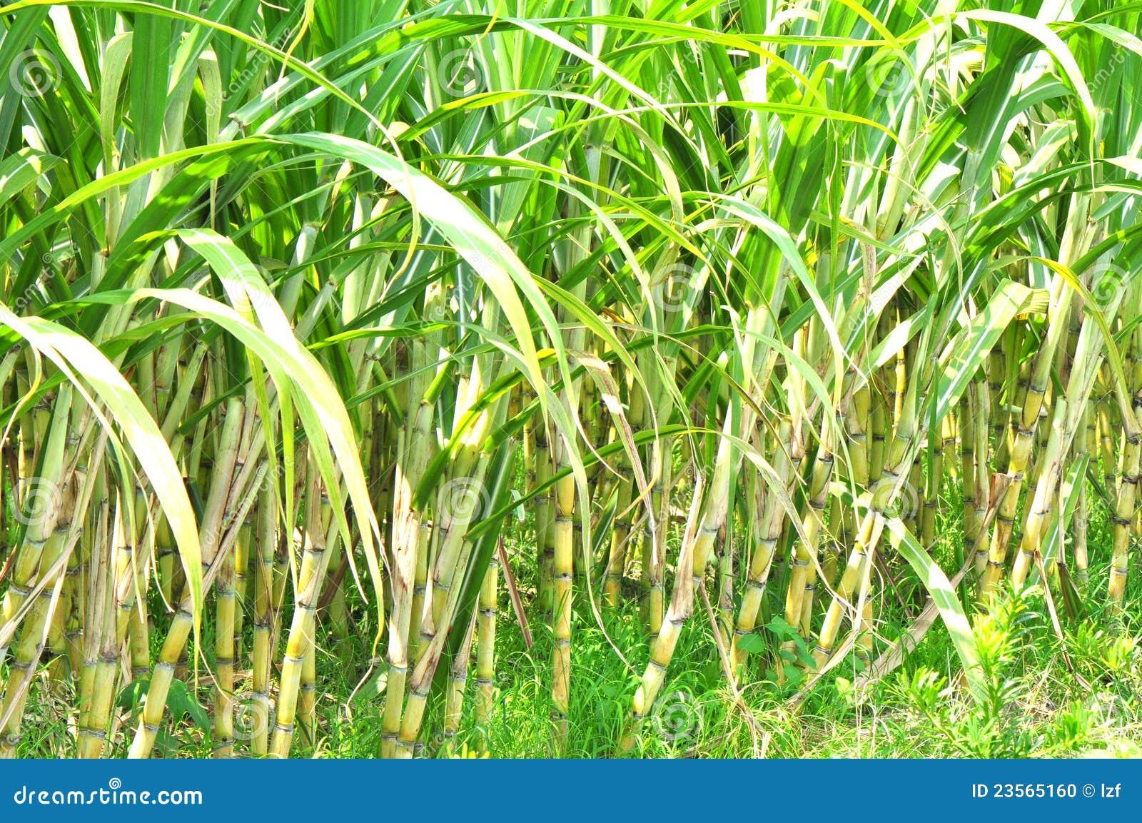 Sugarcane Estate Stock Photo. Image Of Leaves, Farm, Field